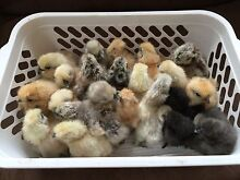 PURE Silkie Chicks-  great deal on multiples! Westmead Parramatta Area Preview