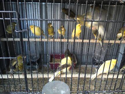 Canaries canaries Granville Parramatta Area Preview