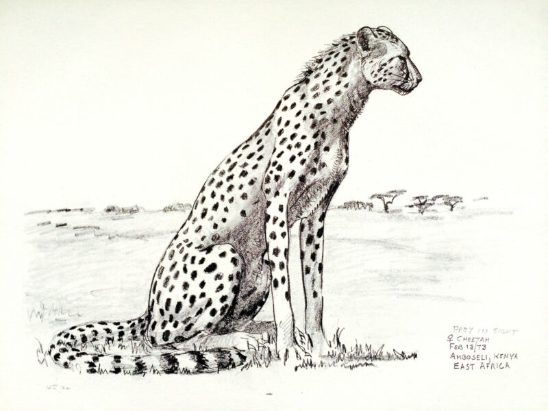 "1973 Alert CHEETAH B/W Framable ART PRINT/Sketch by Ray HARM 11""x15"" L@@K!"