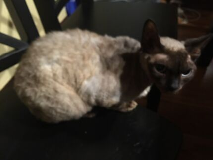 Devon Rex  North Ryde Ryde Area Preview