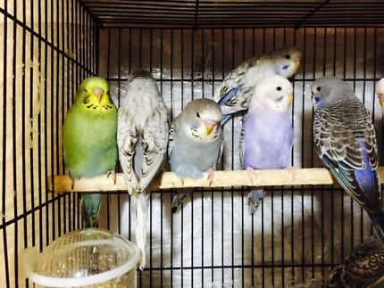 Baby budgies various colour & variable price