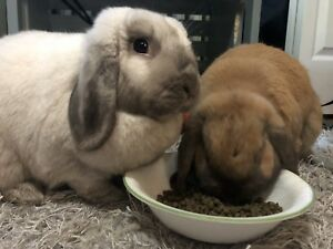 Two holland lop rabbits, supplies included