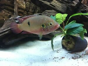 "Selling large 4 1/2 "" jewel cichlid"