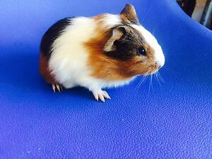 Female baby guinea pig Willetton Canning Area Preview
