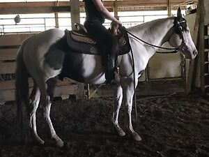 Registered 4yr old Paint Gelding
