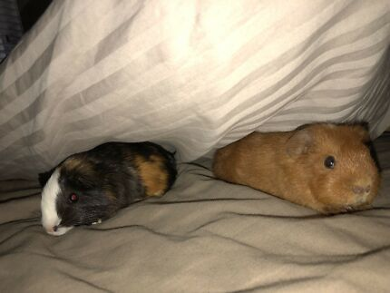 Betty & Bella 8 Week old Female Guinea Pigs with set up