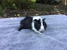 Guinea Pigs Casuarina Kwinana Area Preview