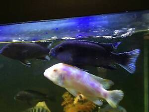 Selling African Cichlid Fish Canning Vale Canning Area Preview