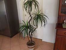 Artificial Plant Cooloongup Rockingham Area Preview