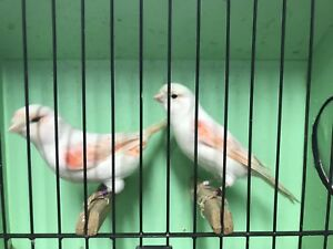 Red mosaic canaries for sale