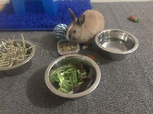 Netherland dwarf bunny with play pen, food and toys
