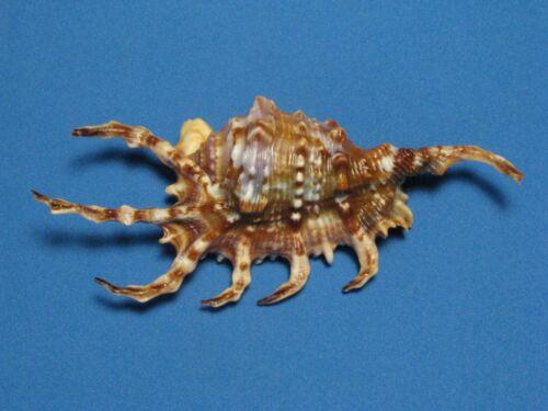 """Lambis scorpius (Linnaeus,1758) """"DARK COLORED DORSUM""""  (120.5mm)"""