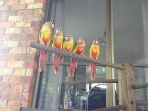 Handreared pineapple conures Buccan Logan Area Preview