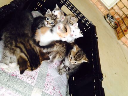 Kittens for sale  Toowoomba 4350 Toowoomba City Preview
