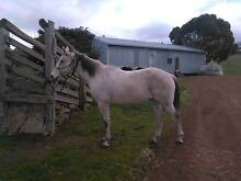13 Y.O. Welsh X Thoroughbred Gelding Mansfield Mansfield Area Preview