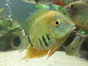 Female Rotkiel (Red Shoulder) Severum