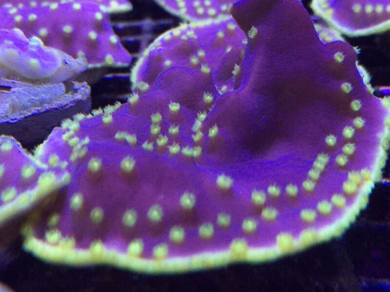 Green Eye Scroll Live Coral Frag