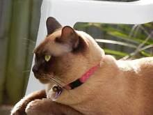 LOST CAT: Maggie is a chocolate Burmese and dearly missed Seventeen Mile Rocks Brisbane South West Preview