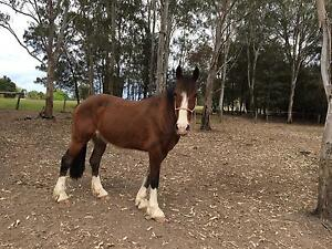Clydie X stock horse Nabiac Great Lakes Area Preview