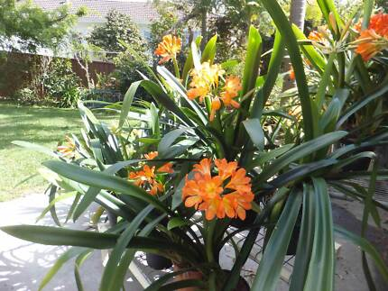 CLIVIA PLANTS - FLOWERING Oyster Bay Sutherland Area Preview