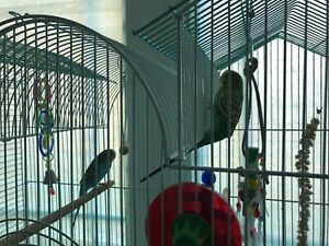 Beautiful pair of budgies + new cage and all accessories