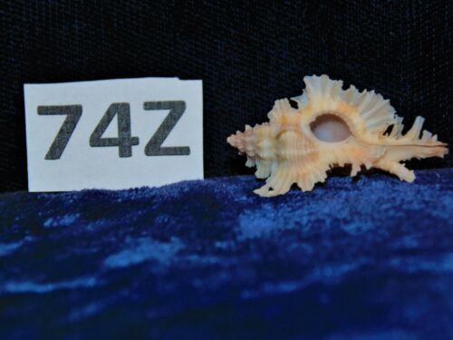 CHICOREUS CELINAMARUMAI, RARE COLLECTOR SHELL, BEACH DECOR TROPICAL 74Z
