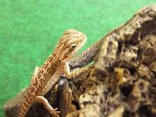 BEARDED DRAGON SETUP 60CM INCLUDES BEARDED DRAGON Hillcrest Port Adelaide Area Preview