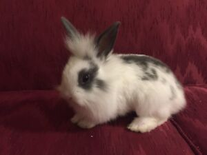 Gorgeous Grey and White Baby Lionhead Bunny
