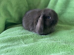 ❤️Quality purebred Mini Lops vaccinated litter trained Ethical Breeder