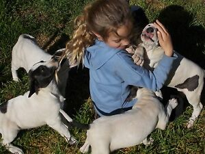Bull Arab puppies (6) for sale Dunolly Central Goldfields Preview