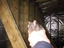 Rats handraised very tame Greenacre Bankstown Area Preview