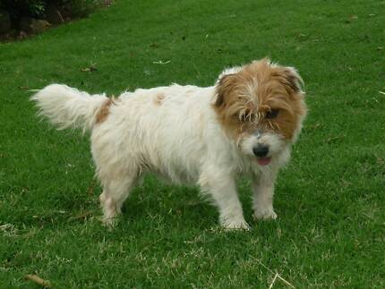 +++MALE JACK RUSSELL TERRIER FOR SALE+++ Laidley Lockyer Valley Preview