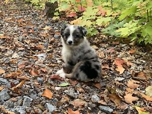 BLUE MERLE AUSTRALIAN SHEPHERD PUPPIES