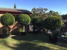 Standard Ficus Charlestown Lake Macquarie Area Preview