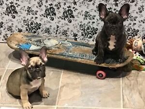 **CKC Registered French Bulldog Puppies**