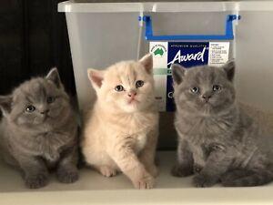 british shorthair | Cats & Kittens | Gumtree Australia Free