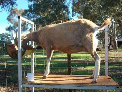 Toggenburg/Saanen X Milking Goat