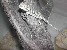 hatchling bearded dragon Smithfield Cairns City Preview
