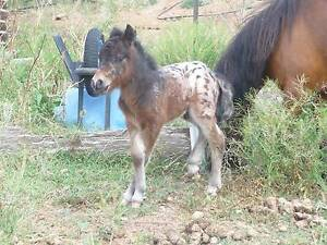 mini horse appy palouse colts, mares, fillies registered Clifton Toowoomba Surrounds Preview