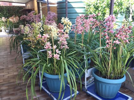 Orchids Mordialloc Kingston Area Preview