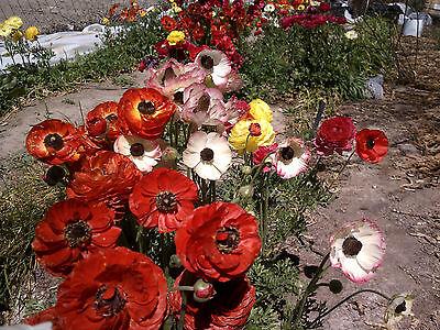 50+ MIXED Ranunculus Bulbs DOUBLE Buttercups Spring BARGAIN! Great Cut flower