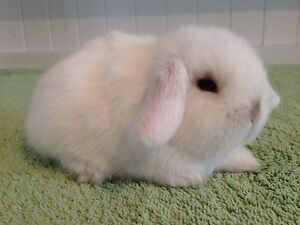 Gorgeous Purebred Mini Lop Baby Boy Harrington Park Camden Area Preview