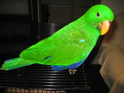 Eclectus Parrot Baby Male Redlynch Cairns City Preview