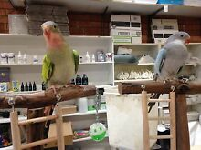 Princess Parrots Handraised Rooty Hill Blacktown Area Preview