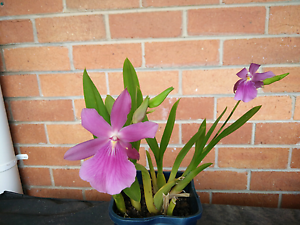 Orchid small Notting Hill Monash Area Preview