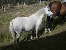 11.2 welsh pony Collinsvale Glenorchy Area Preview