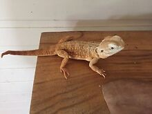 Dwarf bearded dragon Capalaba Brisbane South East Preview