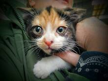Kitten Cat Adoption Meet & Greet -  Sunday 26/06 Pet O Annandale Sydney City Inner Sydney Preview