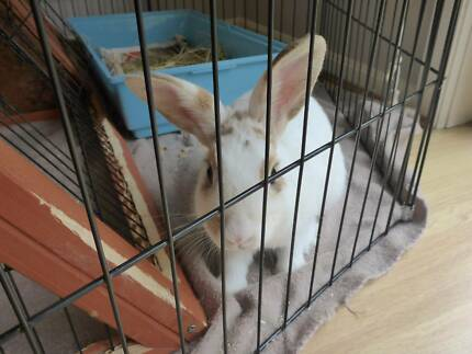 RABBIT - FREE TO EXCEPTIONAL HOME