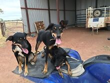 Working dogs Emerald Central Highlands Preview